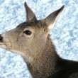 Mule deer female close up — Stock Photo