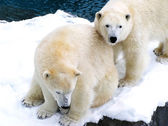 Two polar bears close together — Stock Photo