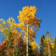 Vertical yellow poplar and blue sky — Stock Photo #4002488