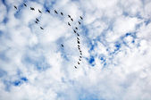 Canadian geese in flight — Stock Photo
