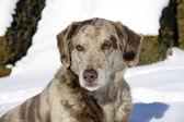 Allvarliga hund på snö — Stockfoto