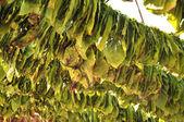Para el secado de tabaco — Foto de Stock