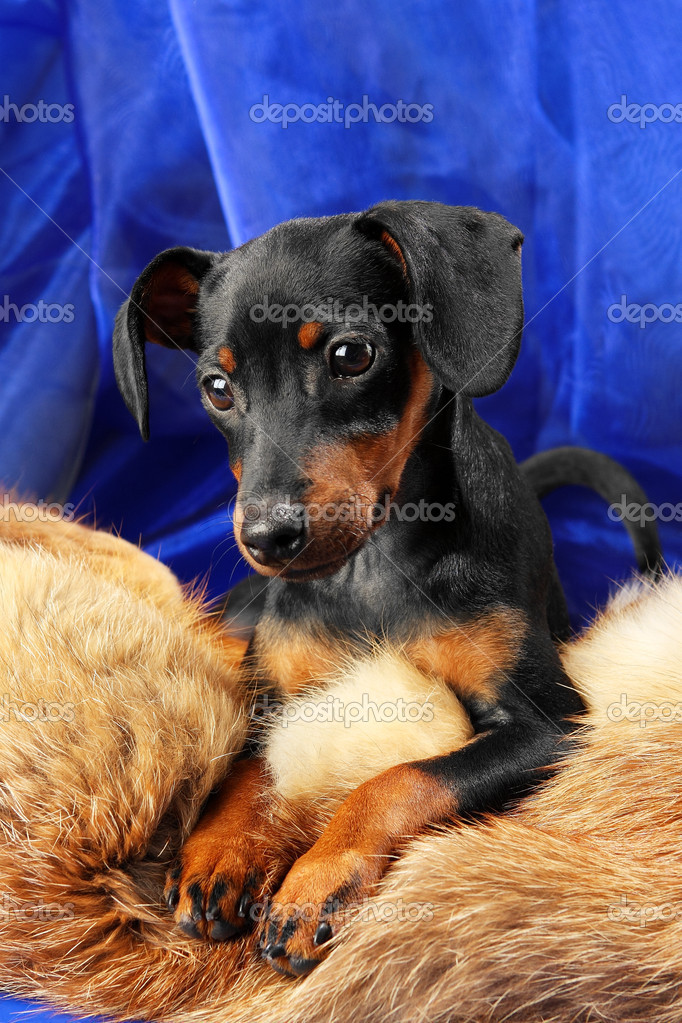 Miniature Pinscher puppy lying on a fox fur — Stock Photo #5362035