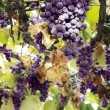 Stock Photo: Red grape clusters
