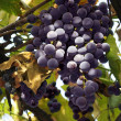 Grape cluster - Stock Photo