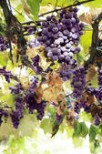 Red grape clusters — Stock Photo