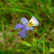 The pansy flower on a field. - Stock Photo