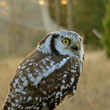 Hawk owl - Stock Photo