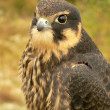 Young hobby falcon — Stock Photo #4200828