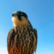 Hobby falcon — Stock Photo #4200878