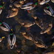The mallards on a river. View from above. - Stock Photo