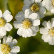 White flowers — Stock Photo #4200971