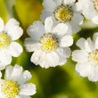 White flowers — Stock Photo #4201006