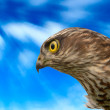 Birds of Europe - Sparrow-hawk — Stock Photo #4201016