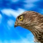 Birds of Europe - Sparrow-hawk — Stock Photo