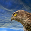Stock Photo: Birds of Europe - Sparrow-hawk