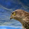 Birds of Europe - Sparrow-hawk — Stock Photo #4201035