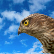 Birds of Europe - Sparrow-hawk — Stock Photo
