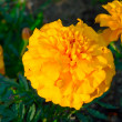 Marigold — Stock Photo