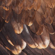 Stock Photo: Plumage of golden eagle