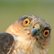 Birds of Europe and World - Sparrow-hawk — Stock Photo #4201411