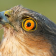 Birds of Europe and World - Sparrow-hawk — Stock Photo #4201503