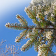Fir closeup — Stock Photo