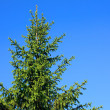 Fir tree — Stock Photo #4201751