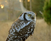 Hawk owl — Stock Photo