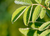 Dew on leaves — Foto de Stock