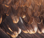 Plumage of a golden eagle — Stock Photo