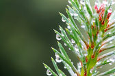 Pine-tree — Stock Photo
