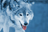 Wolf closeup — Stock Photo