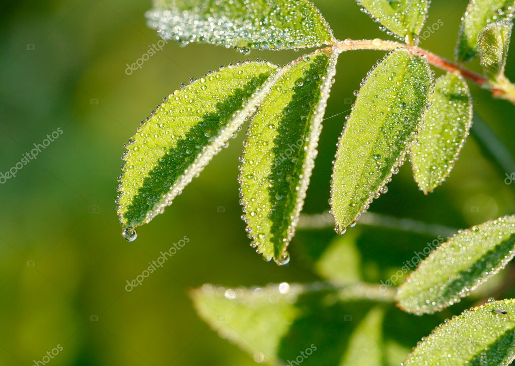 The dew on leaves of dog-rose.  Stock Photo #4200899