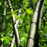 Постер, плакат: Bamboo tree