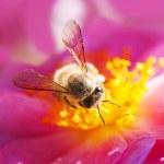 Bee collecting honey — Stock Photo #4517621