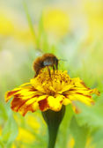 Bee verzamelen honing — Stockfoto
