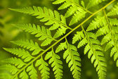Fern Leaf — Foto Stock
