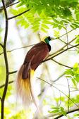 Cennet kuşu — Stok fotoğraf