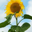 Mature sunflower on background sky — Stock Photo
