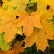 Yellow sheet of the maple - Stock Photo