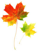 Iki yaprak akçaağaç sonbahar — Stok fotoğraf