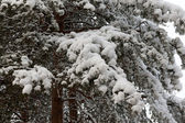 Branches of the pine in snow — Stock Photo