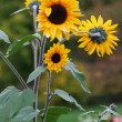 Foto Stock: Three sunflowers on background verdure in park