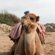 Royalty-Free Stock Photo: Camel sits