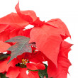 Poinsettia pulcherrima - Stock Photo