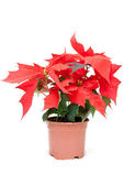 Poinsettia pulcherrima — Stock Photo