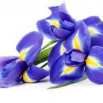 Iris bouquet — Stock Photo