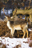 Male Deer — Stock Photo