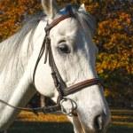Horse portrait — Stock Photo #5288954